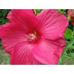 Red Hibiscus moscheutos