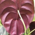 Alocasia red secret