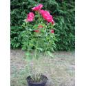 Hibiscus moscheutos rouge