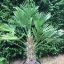 Trachycarpus wagnerianus 50 cm