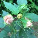 Hibiscus summerific® cherry cheesecake