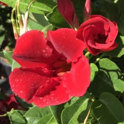 Mandevilla diamantina® Agathe scarlet
