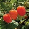 Rubus idaeus Valentina®