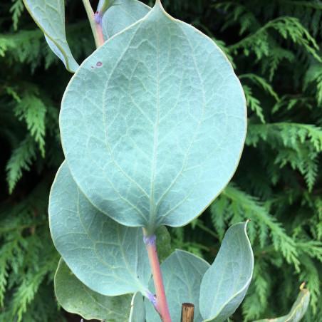 Hakea petiolaris