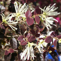Loropetalum ruby snow®