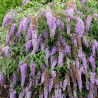 Buddleja wisteria lane®