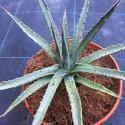 Agave utahensis utahensis