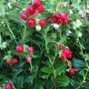 Vaccinium vitis-idaea fireballs®