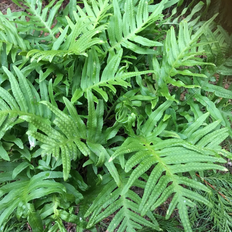 Polypodium vulgare Whitley giant