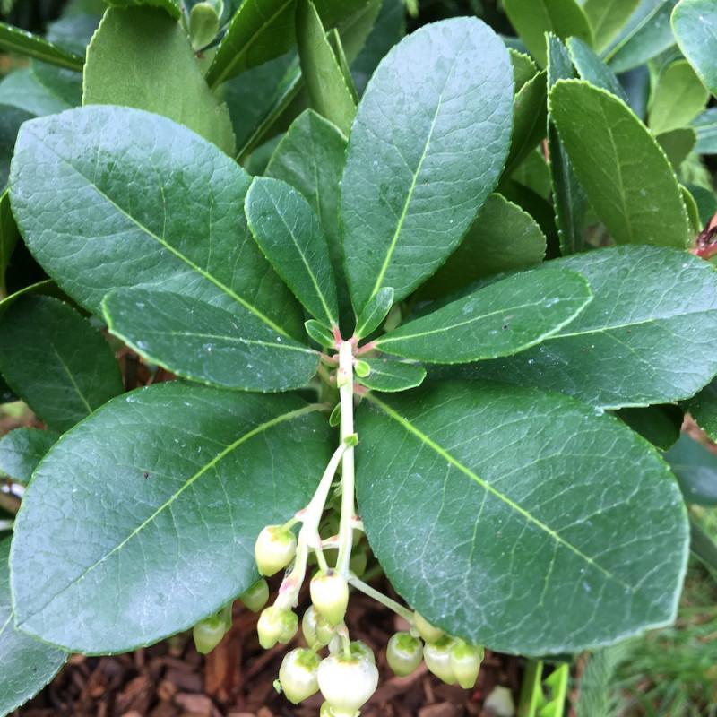 Arbustus unedo peace and love®