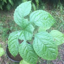 Brassaiopsis mitis