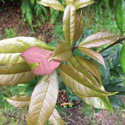 Osmanthus fragrans aurantiacus