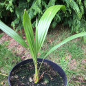 Trachycarpus wagnerianus x princeps