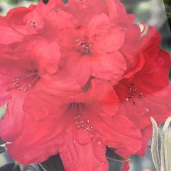 Rhododendron EasyDENDRON® Vulcan