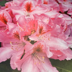 Rhododendron EasyDENDRON® Furnival's daughter