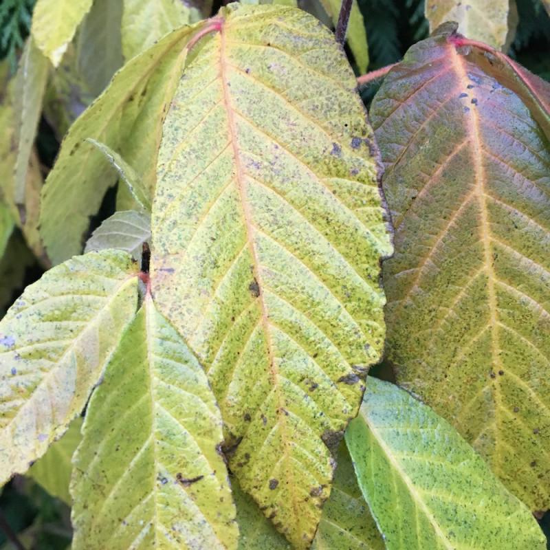 Acer maximoviczianum