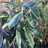 Eriobotrya japonica argelino