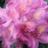 Rhododendron EasyDENDRON® pink purple dream