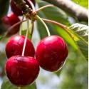 Prunus avium cherry baby®