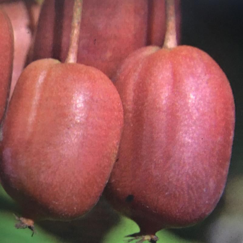 Actinidia arguta scarlet September