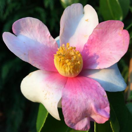 Camellia sasanqua yume