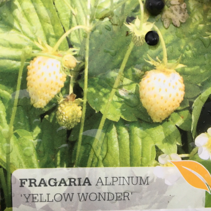 Fragaria yellow wonder