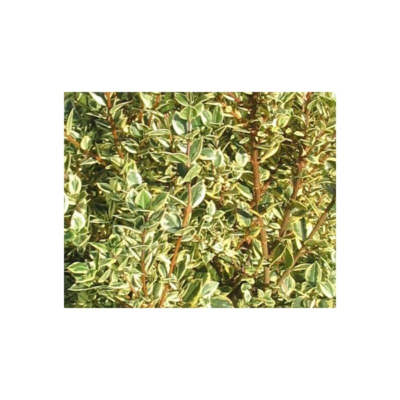 Myrtus 'glanleam gold'