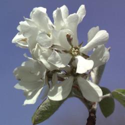 Amelanchier ovalis Edelweiss