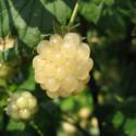 Rubus polar berry
