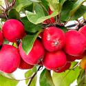 Malus Appletini