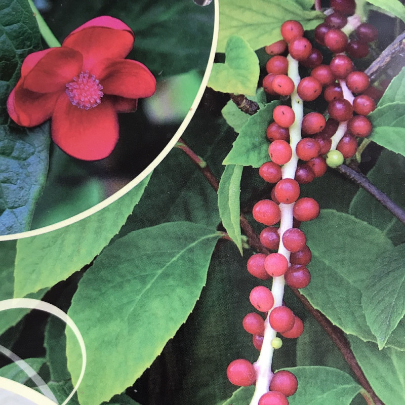 Schisandra rubiflora femelle