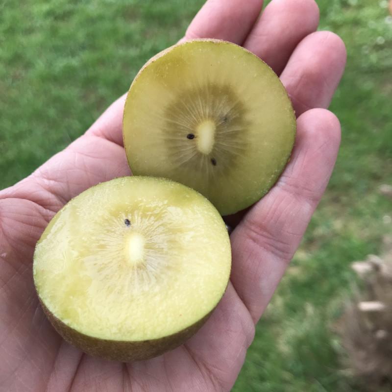 Actinidia golden kiwi
