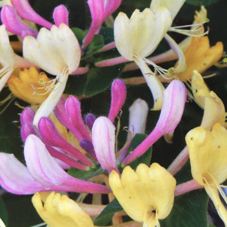 Lonicera caprifolium Inga