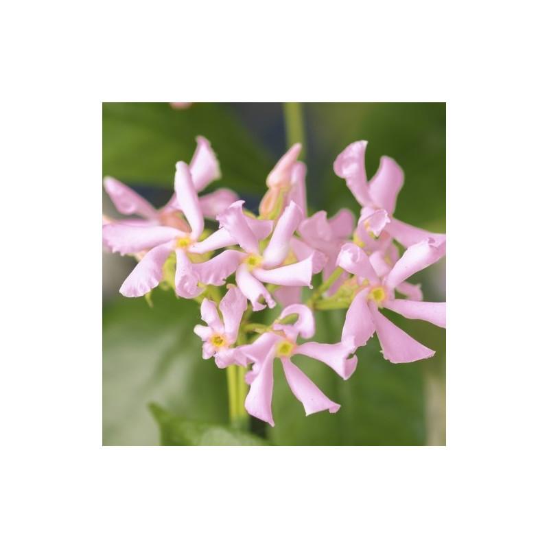 Trachelospermum pink air
