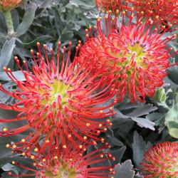Leucospermum Ayoba® red
