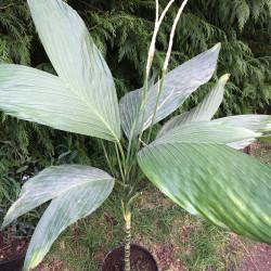 Chamaedorea ernesti-augustii