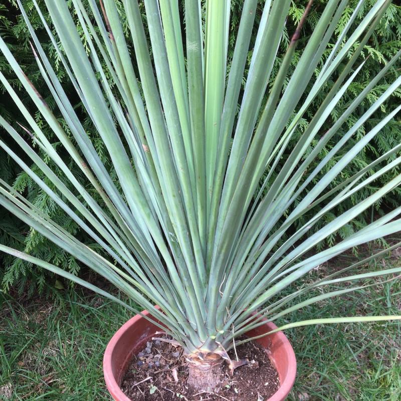 Yucca mixtecana 7 l