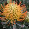 Leucospermum Ayoba® sun