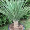 Yucca potosina