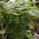 Actinidia kiwi wonder®