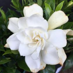 Gardenia celestial star®