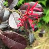 Loropetalum rouge de la Majorie®