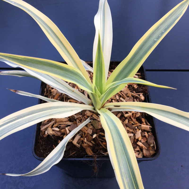 Yucca gloriosa citrus twist®