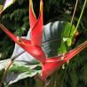 Heliconia psittacorum rouge