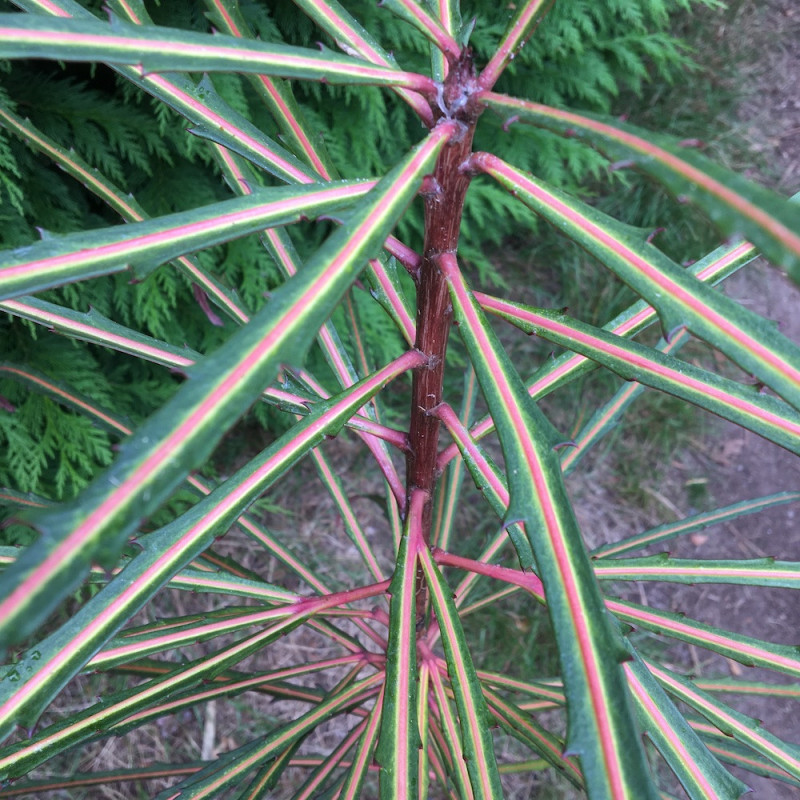 Pseudopanax fiddlesticks