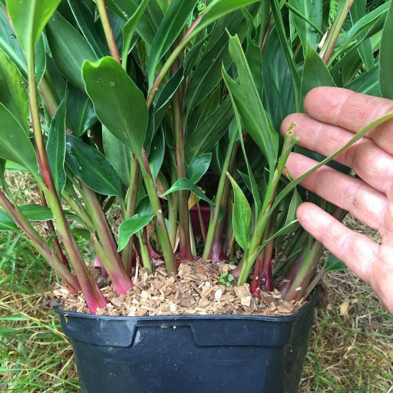 Hedychium villosum tenuiflorum