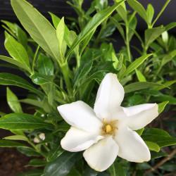 Gardenia sweet heart®