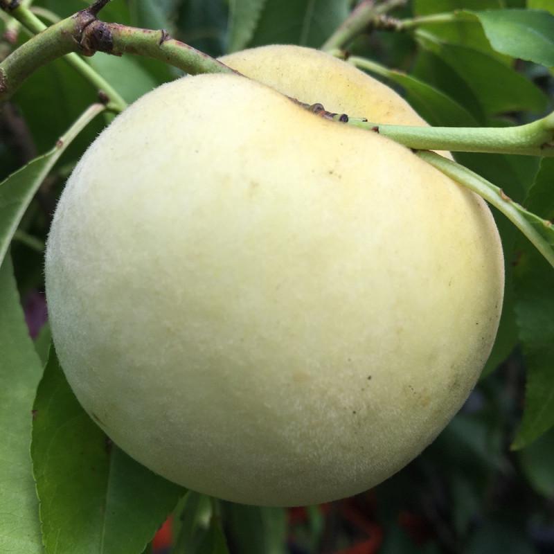 Dwarf peach fruit me ice peach