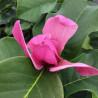 Magnolia amethyst flame