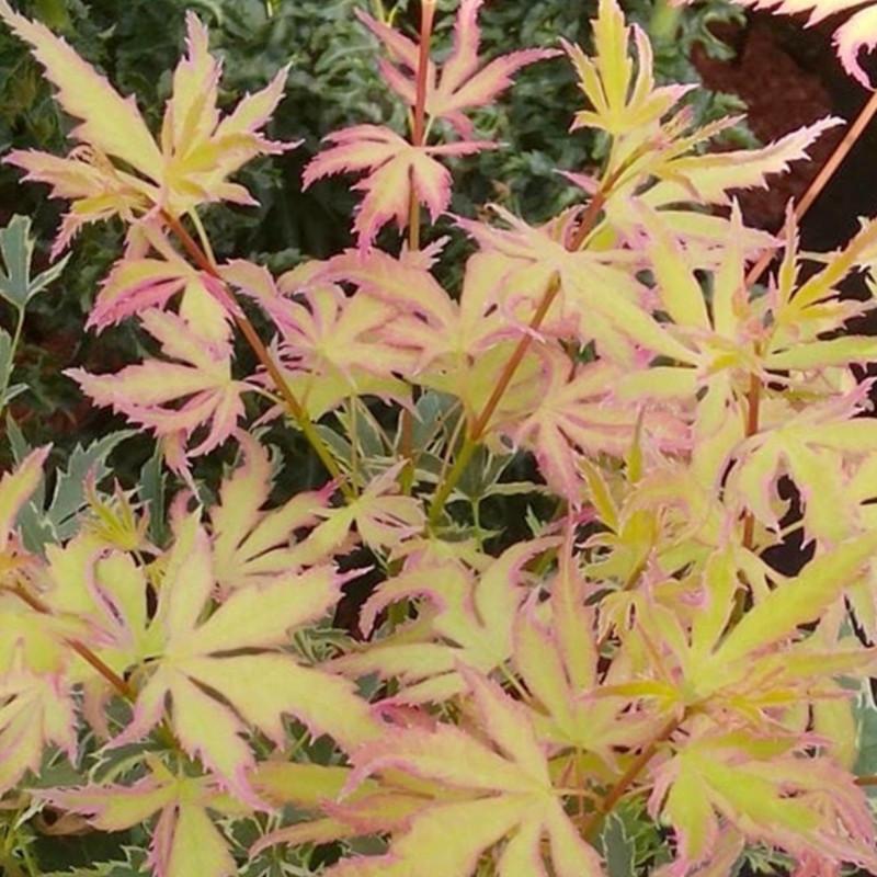 Acer palmatum metamorphosa
